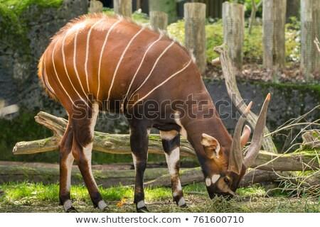 Beautiful animal - big eastern bongo antelope, extremely rare animal Stock photo © galitskaya