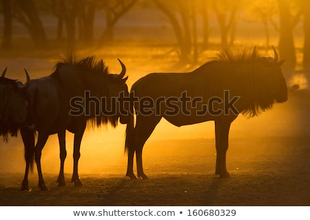 Blue wildebeest standing in the sand. Stock photo © simoneeman