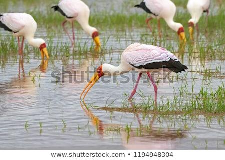 The Yellow-billed Stork, Mycteria ibis, is a large wading bird i Stock photo © galitskaya
