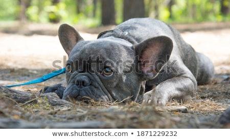 Portrait of an adorable French bulldog Stock photo © vauvau