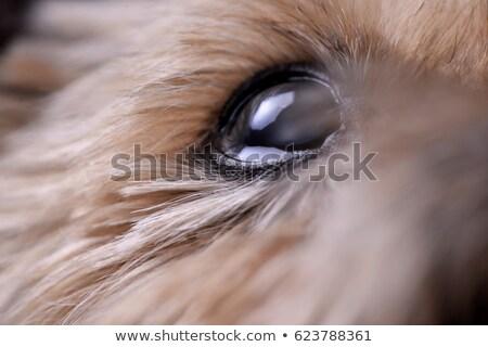 Blisko shot niewidomych yorkshire oka Zdjęcia stock © vauvau