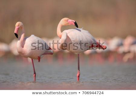 pink flamingo in camargue stock photo © smithore