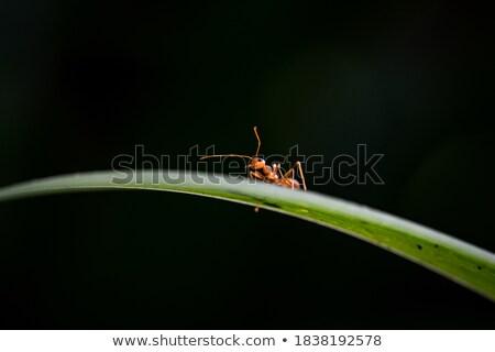 Piros hangya zöld természet kert munka Stock fotó © sweetcrisis