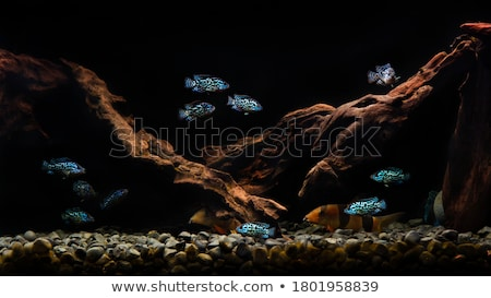 blue Cichlid and stones Stock photo © prill