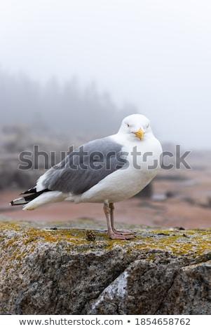 Tenger Maine USA madár madarak állat Stock fotó © phbcz