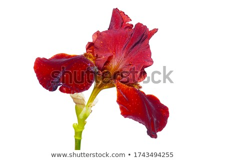 Iris çiçek yaprakları çiy damla mavi çiçek Stok fotoğraf © AlessandroZocc