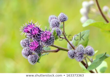 Thistle Flower Close Up View Stock photo © Bertl123