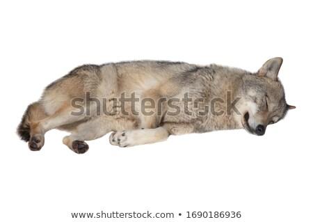 Kurt uyku ağaç ölü beyaz hayvan Stok fotoğraf © aetb