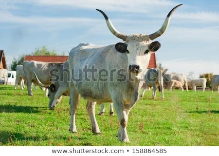 ハンガリー語 グレー 牛 小さな フィールド ストックフォト © digoarpi
