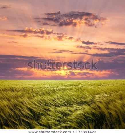 Kapzsiság búzamező gyönyörű naplemente égbolt nap Stock fotó © Taiga