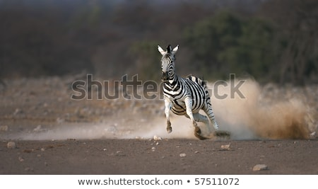 Bange zebra lopen stof parcours Namibië Stockfoto © michaklootwijk
