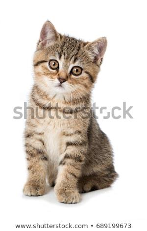 Küçük kedi yavrusu yalıtılmış beyaz Stok fotoğraf © eriklam