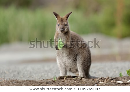 Red-necked Wallaby (Macropus rufogriseus) Stock photo © dirkr
