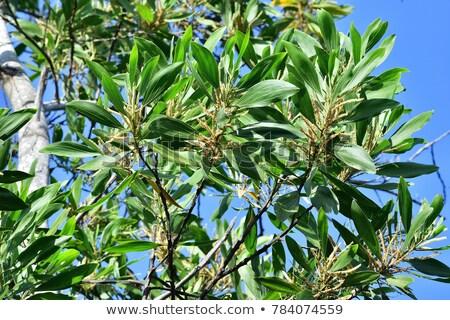 acacia mangium seed stock photo © ziprashantzi