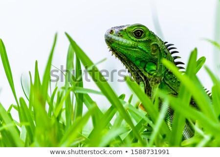 green iguana portrait over white Stock photo © taviphoto