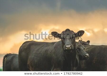Stockfoto: Vee · jonge · koeien · weide · hand · zon