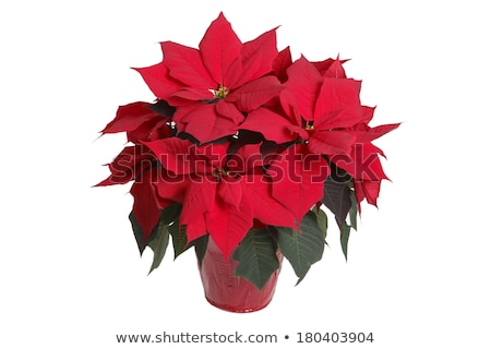 Poinsettia potted cutout stock photo © DragonEye