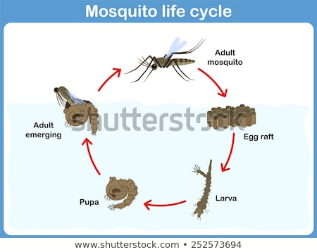 Mosquito life cycle - pupae stage Stock photo © bluering
