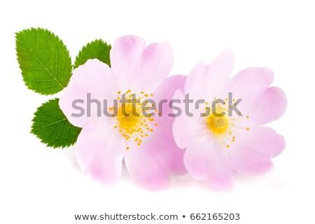 close up of a dog rose stock photo © mady70