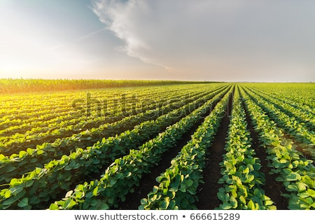 Close up of cultivated soybean crop plantation row Stock photo © stevanovicigor