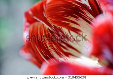 Gotas de água tulipa água rosa Foto stock © Mikko