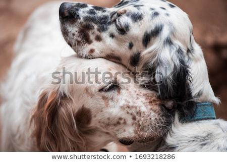 Dog english setter Stock photo © vapi