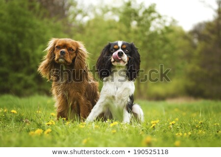 cavalier king charles and chihuahua Stock photo © cynoclub