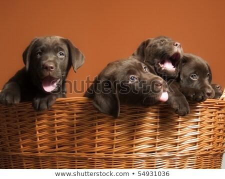 Young labrador puppies suckling Stock photo © ilona75