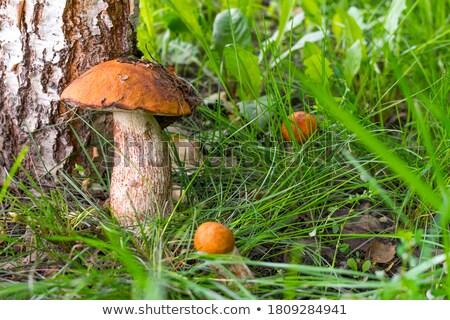 Foto stock: Três · pequeno · cogumelos · crescente · floresta · musgo