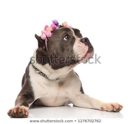adorable american bully with fresh flowers headband looks to sid Stock photo © feedough