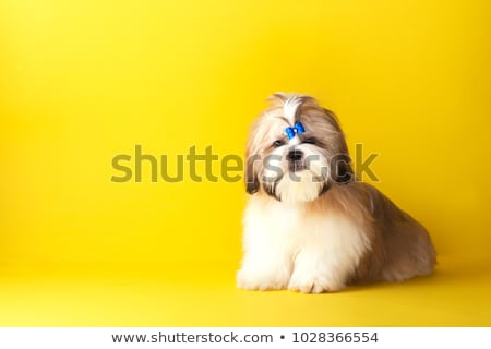 adorable furry shih tzu standing and looking up Stock photo © feedough