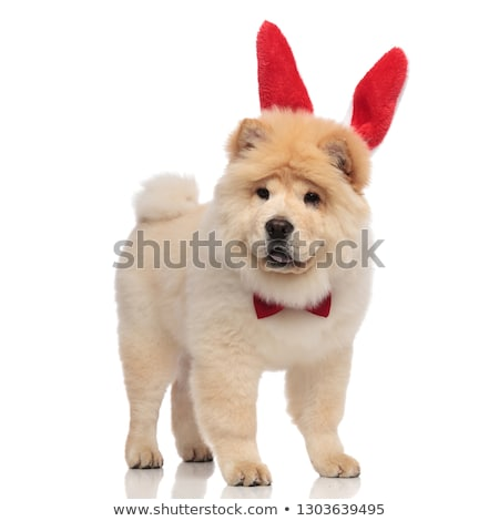 gentleman chow chow wearing red easter bunny ears pants Stock photo © feedough