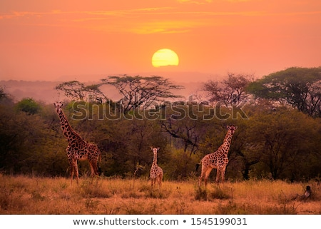 Zsiráf naplemente illusztráció nap háttér hegy Stock fotó © bluering