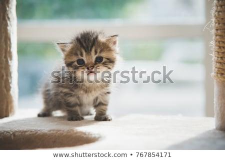 Stock photo: Black and white Persian kitten on white
