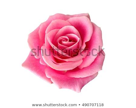 pink roses with dew stock photo © nailiaschwarz
