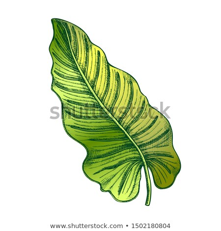 Philodendron Melanochrysum Color Leaf Hand Drawn Vector Stock photo © pikepicture