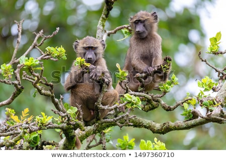 chacma baboon on tree, Ethiopia, Africa wildlife Stock photo © artush
