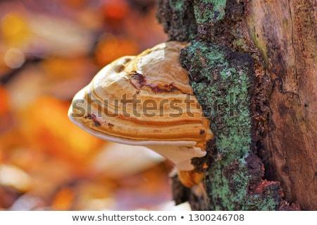 Hongos otono planta sombrero setas bosques Foto stock © inxti