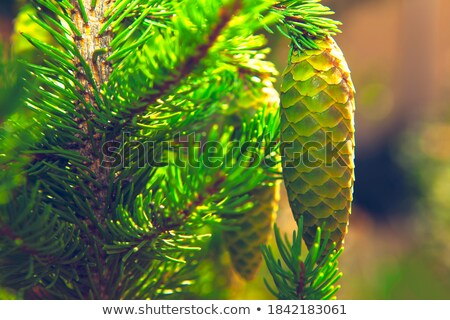Fir Cones hanging on a Tree Stock photo © tepic