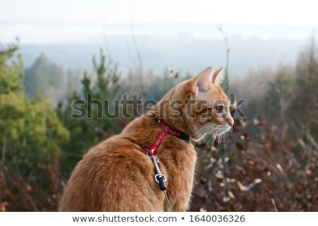 Cat Harness Stock photo © lenm