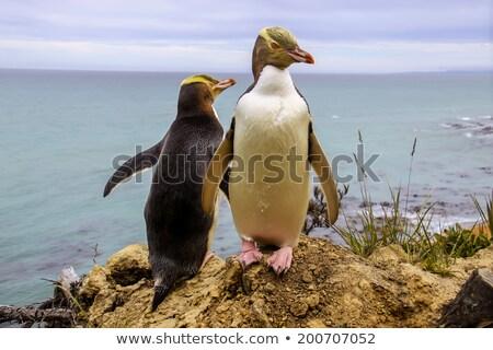 Yellow eyed penguin on rocks Stock photo © Hofmeester