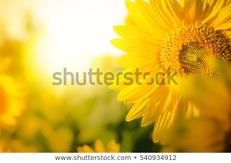 желтый оранжевый цветами Лучи солнечный свет Сток-фото © liliwhite
