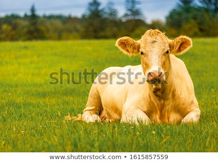 Big cows Stock photo © MojoJojoFoto