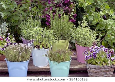 Herbes pot romarin lavande autre Photo stock © tannjuska