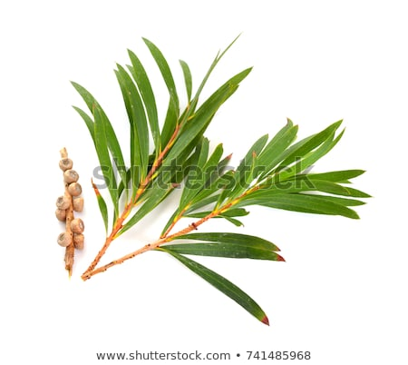 Tea Tree Stock photo © derocz