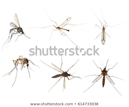 sivrisinek · renkli · örnek · vektör - stok fotoğraf © derocz