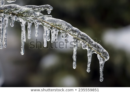 Long icicles hanging from tree branches Stock photo © Juhku