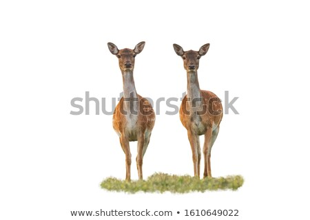two fallow deers on meadow Stock photo © taviphoto
