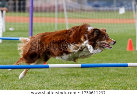 Dog Agility jumping Stock photo © smuki
