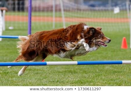 atlama · border · collie · eğitim · spor · çit - stok fotoğraf © smuki